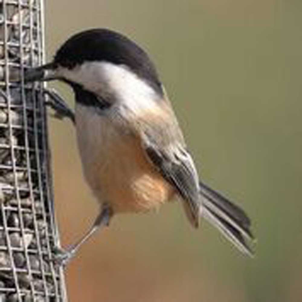 black capped chickadee eating at feeder