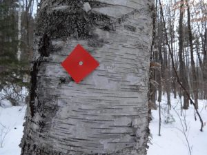 white birch with trail marker